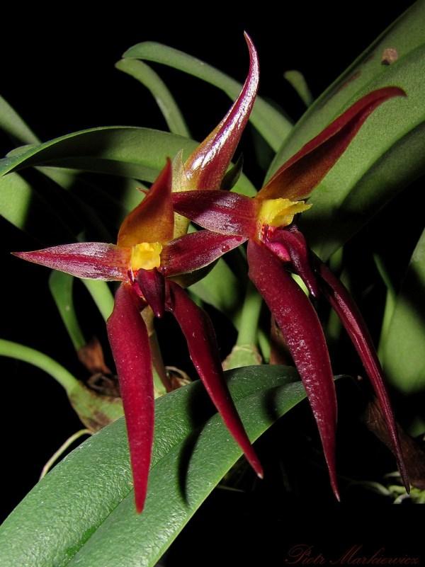 Bulbophyllum-nymphopolitanum.jpg