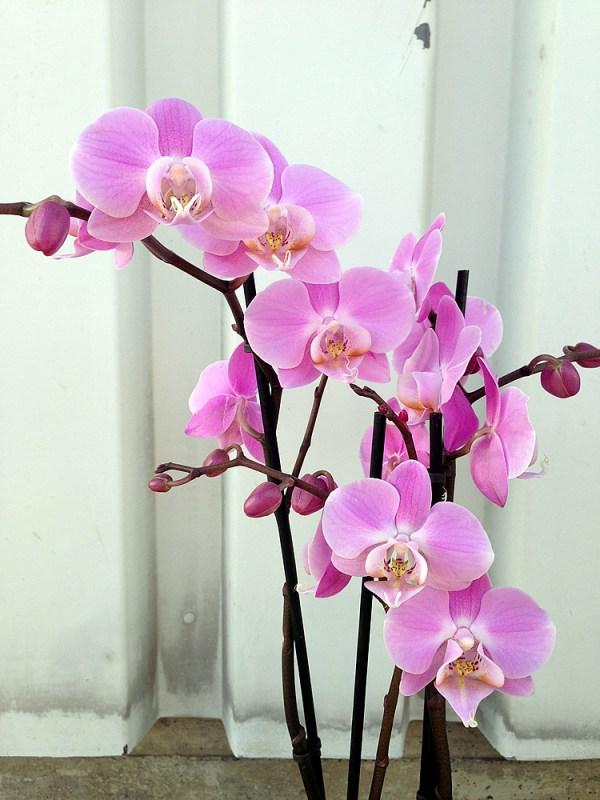 Phalaenopsis-hybrid--rosa.jpg