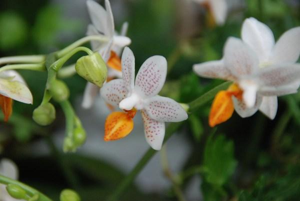 Phalaenopsis-Mini-Mark.jpg
