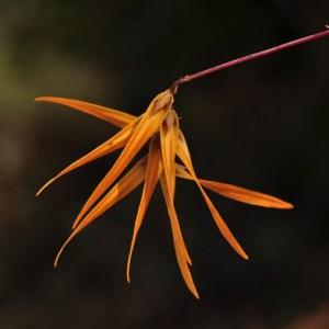 Bulbophyllum-dickasonii.jpg