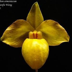 Paphiopedilum-armeniacum.jpg