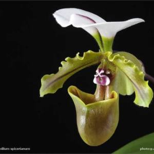 Paphiopedilum-spicerianum.jpg