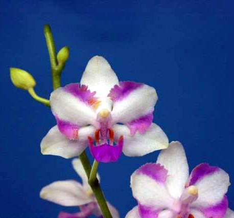 Doritis-pulcherrima-x-Phalaenopsis-Luedde-violacea.jpg