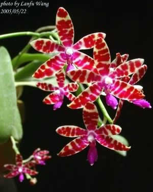 Phalaenopsis-bastianii.jpg