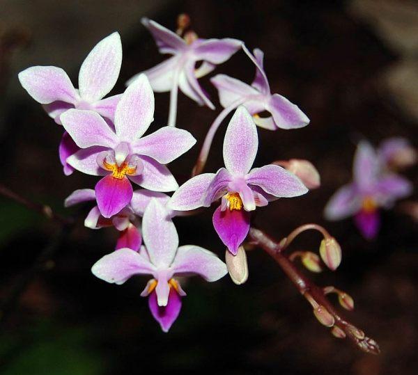 Phalaenopsis-equestris.jpg