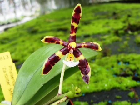 Phalaenopsis-mannii--Zartbitter.jpg