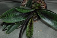 Paphiopedilum-Vinicolor-Black-Jack-blad.jpg