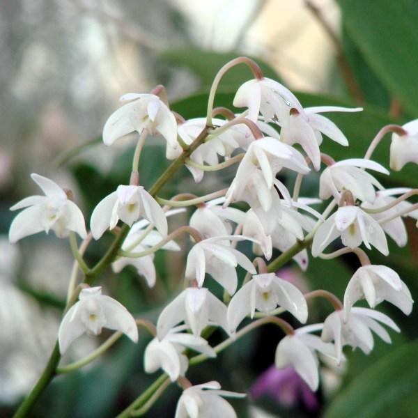 Dendrobium x delicatum