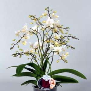 Phalaenopsis-Soft-Cloud