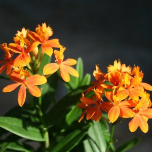 Epidendrum Ballerina, orange