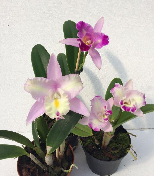 3 oliak Cattleya-hybridplantor i rosa toner