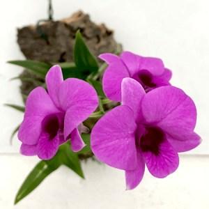 Dendrobium bigibbum