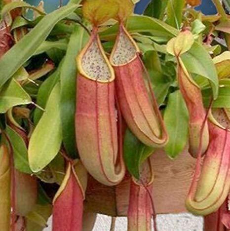 Nepenthes sanguinea