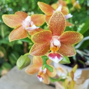 Phalaenopsis Masterpiece