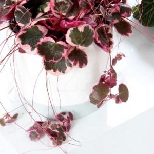 Saxifraga stolonifera, Tricolor