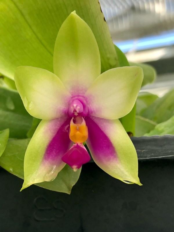 Phalaenopsis bellina 'Green' x '987'