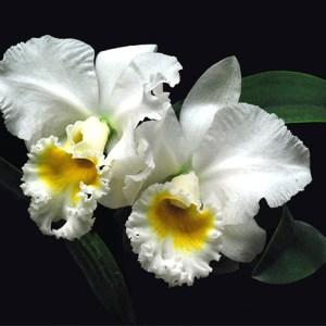 Rhyncholaeliocattley Burdekin Wonder 'White Snow'