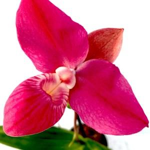 Phragmipedium Hanne Popov x besseae