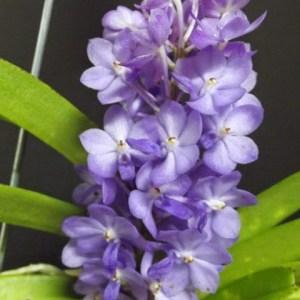 Rhyncocentrum Lilac Blossom