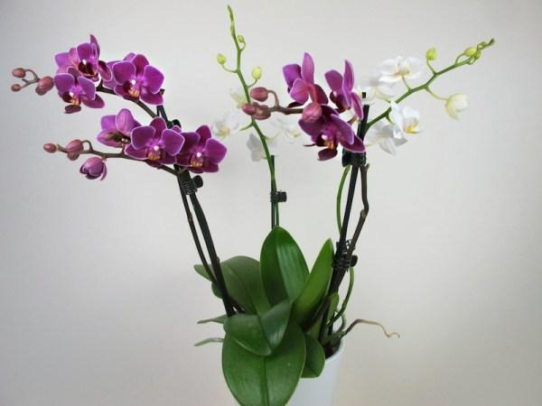 """Doritaenopsis """"Confetti"""""""