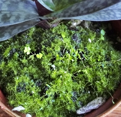 Paphiopedilum planterad i GreenMix, med mycket mossa växande på substratet