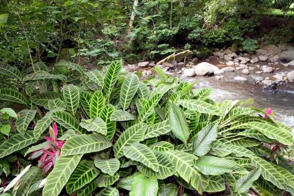 Calathea zebrina i Costa Rica