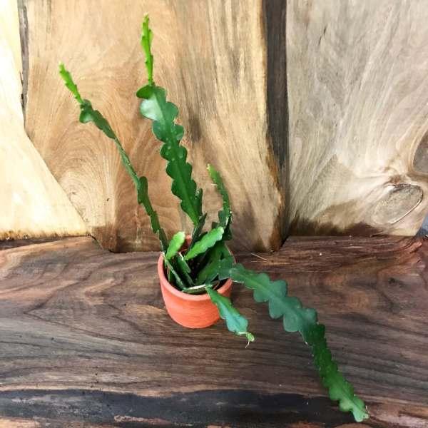 Disocactus anguliger