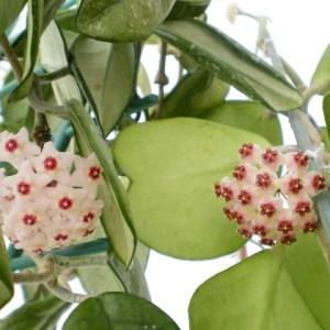 Hoya kerrii