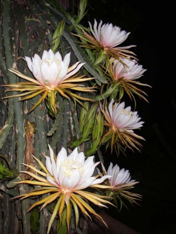Hylocereus monacanthus