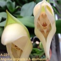 Anguloa virginalis x eburneum
