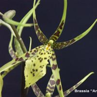 Brassia Ariana Verde