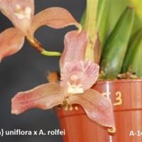 Anguloa uniflora x rolfei