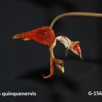 Gongora quinquenervis