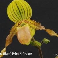 Paphiopedillum Prim-N-Proper