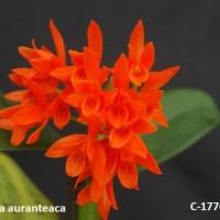 Cattlea auranteaca
