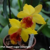 Cattleya  orange pot sweet sugar