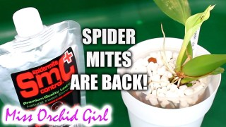 Spider mite infestation on my Orchids! – Testing SMC Mite Control