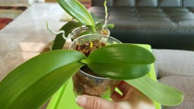 Water culture levels explained on my dendrobiums, phalenopsis, and vanda orchids.