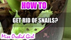 How to get rid of snails in Orchid pots?