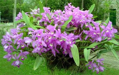 Cattleya skinneri, fiore nazionale del Costa Rica