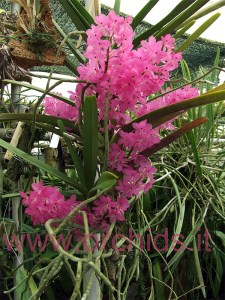 Ascocentrum ampullaceum pianta