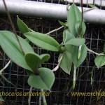 trichoceros_antenn_pianta