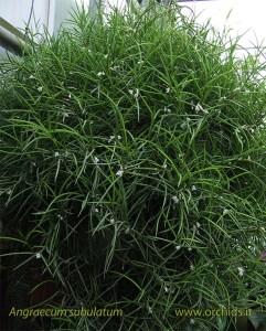 angraecum_subulatum_pianta