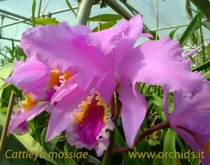 cattleya_mossiae
