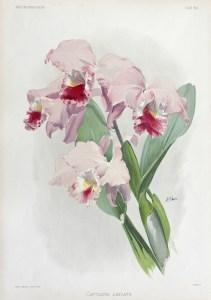 Cattleya labiata - Reichenbachia
