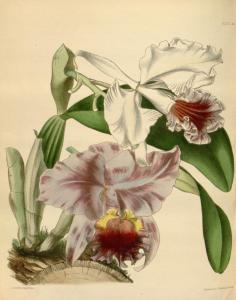 Cattleya warneri - Paxton's Flower Garden