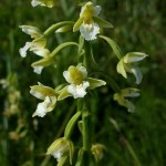 Epipactis palustris f. alba