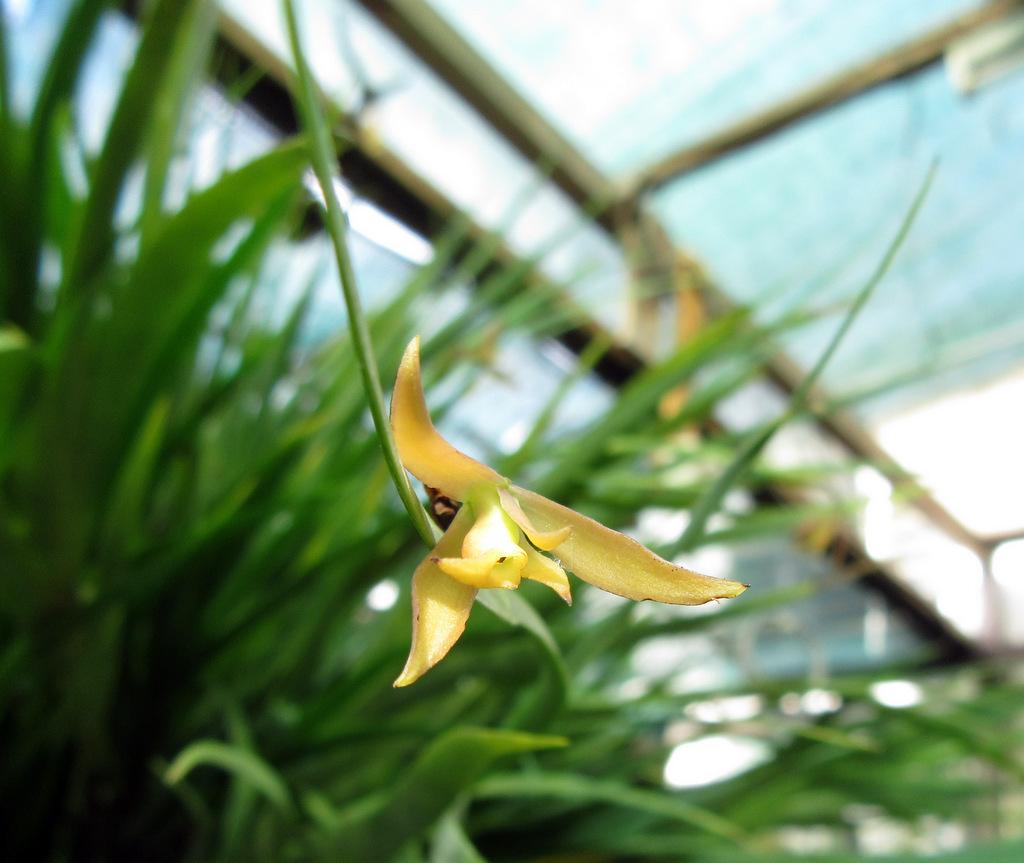 Jacquiniella equitantifolia, orchidea rara ed inusuale nelle collezioni