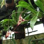 orchidee_schio_dracula