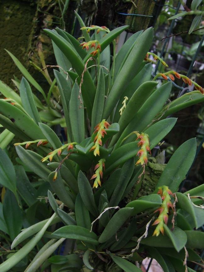 Pleurothallis ochreata for Ocra pianta